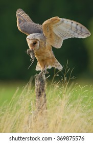 Barn owl sitting on the branch, feeding on mouse prey, with clean green background, Czech Republic