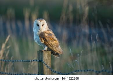 Barn owl sitting on a fence as the sun goes down