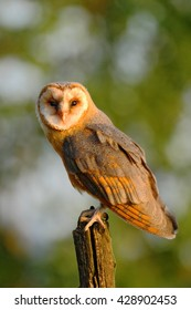 Barn owl sitting on tree stump at the evening nice light and clear background. Wild bird in the nature habitat.