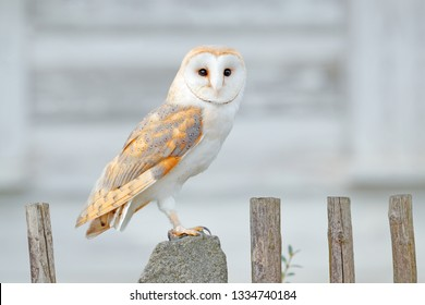 Barn owl sitting on wooden fence in front of country cottage, bird in urban habitat, wheel barrow on the wall, Czech Republic. Wild winter and snow with wild owl. Wildlife scene from nature.
