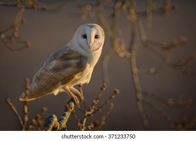 Barn Owl sitting in a tree in the evening light
