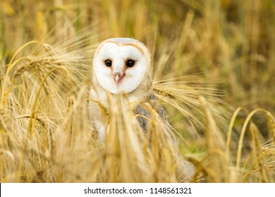 Barn owl stood in  field of golden corn.  Facing forward in natural habitat surrounded by ears of wheat.  Scientific name: Tyto alba.  Horizontal.
