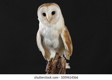 barn owl - studio captured