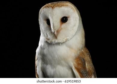 Barn Owl - Studio Photograph