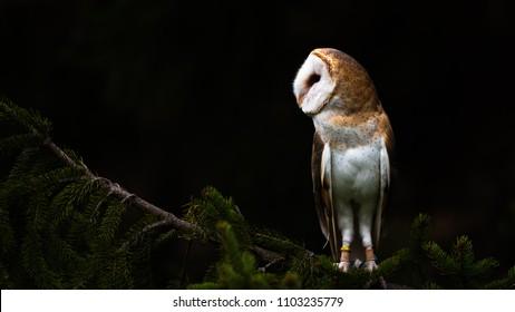 Barn owl in a tree