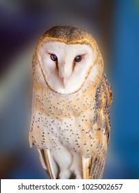 Barn Owl in Tucson Arizona