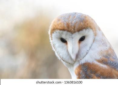 The Barn owl, Tyto alba, Close-up portrait