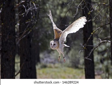 Barn owl (Tyto alba) flying in the forest