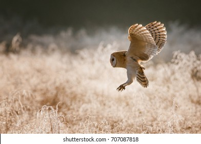 Barn owl, Tyto alba flying in the frozen morning. Light brown bird of prey sitting in the backlight in the cold weather. Winter portrait of barn owl with wings wide open..