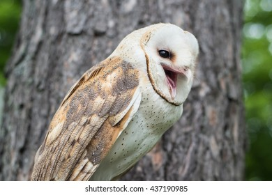 A Barn Owl (Tyto alba) hooting in the forest.