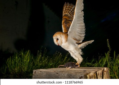 Barn owl (Tyto alba) hunting a rat  in the night.