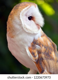 The barn owl (Tyto alba) is the most widely distributed species of owl and one of the most widespread of all birds.