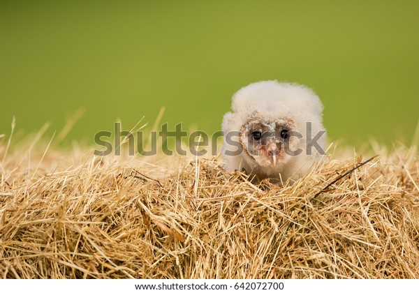 Barn owl (Tyto alba) is the most widely distributed species of owl and one of the most widespread of all birds. Found almost everywhere in the world except polar and desert regions.