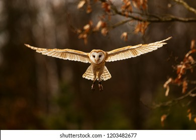 barn owl (Tyto alba) nic flying with good light