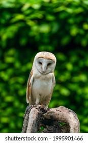 Barn owl (Tyto alba) perched on a tree trunk
