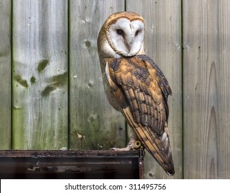 Barn Owl, Tyto alba, perched in front of old wood planks