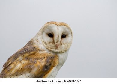 Barn Owl (Tyto Alba) portrait against white background, United Kingdom