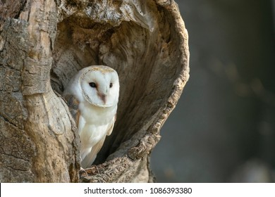 Barn owl; Tyto alba, resting in an old hollow tree,spring on the edge of an Oxfordshire woodland,(captive)