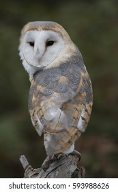 Barn Owl Tyto alba sat on a tree in the woodland