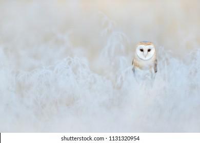 Barn Owl, Tyto alba, sitting on the rime white grass in the morning. Wildlife bird scene from nature. Cold morning sunrise, animal in the habitat, hidden in vegetation.