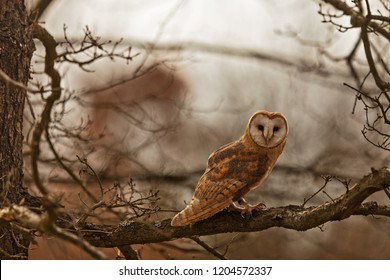 barn owl (Tyto alba) is sitting on the branch fo oak tree in winter