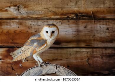 Barn owl (Tyto alba) sitting in an old barn in Gelderland in the Netherlands.