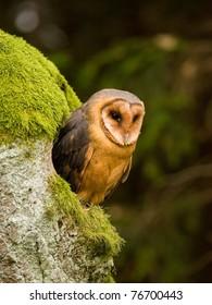 Barn owl (Tyto alba) sitting on the tree