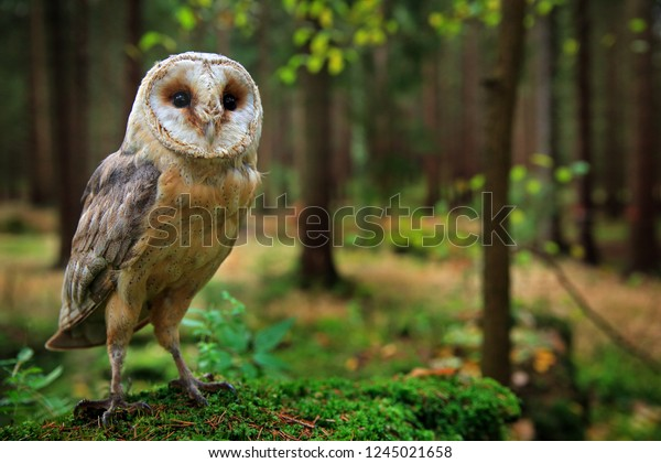 Barn owl, Tyto alba, sitting on the green moss stone in forest at the evening - photo with wide lens including habitat. Wildlife scene in nature habitat. Bird with forest and grass meadow.