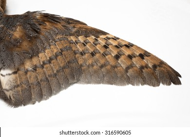 Barn Owl, Tyto guttata, Wing isolated on white