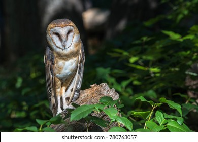 Barn owl watching from log deep in leafy green woods