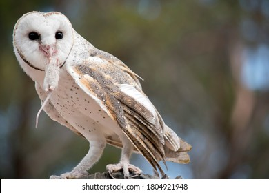 the barn owl is a white owl with brown spots and a pink beak