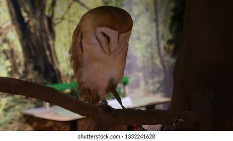 Barn Owl.Whole body.