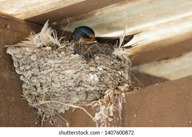A Barn Swallow is adding dead grass and fresh mud to its nest. Ashbridges Bay Park, Toronto, Ontario, Canada.