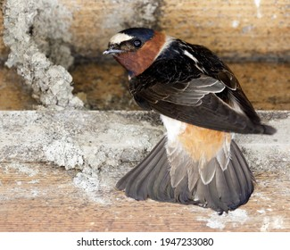 Barn Swallow adult perched next to nest under construction, showing tail feathers, and looking back at camera. Santa Clara County, California, USA.