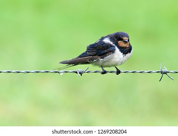 A Barn Swallow bird on it's own on a barbed wire fence in the rain, wet feathers