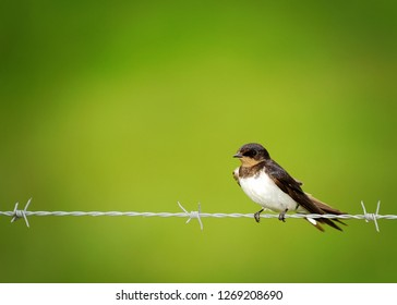 A Barn Swallow bird, on it's own, on a barbed wire fence, in the rain wet