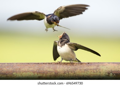 Barn swallow feeds its juvenile on a fence in a polder in the Netherlands.