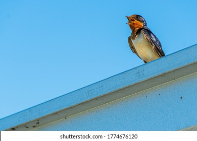 Barn Swallow Fledgling with Mouth Open Calling for Food.