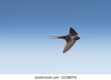 barn swallow in flight against the deep blue sky / Hirundo rustica