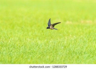 Barn Swallow Hirundo rustica in flight above farmland. This is the most widespread species and national bird of Estonia.