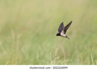 Barn Swallow Hirundo rustica in flight or perched
