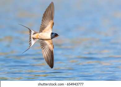 Barn swallow (Hirundo rustica) in flight over the lake