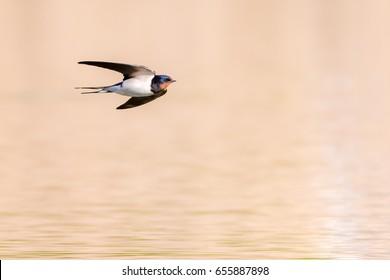 Barn swallow (Hirundo rustica) in flight over the pond