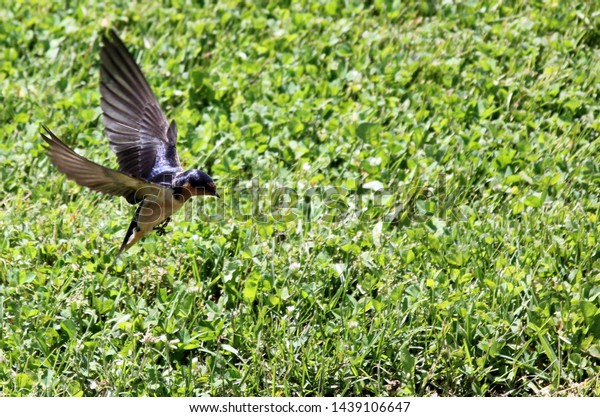 barn-swallow-hirundo-rustica-flying-600w