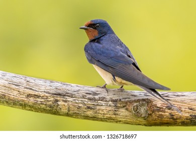 Barn swallow (Hirundo rustica) is the most widespread species of swallow in the world. Bird perched on branch with bright green background