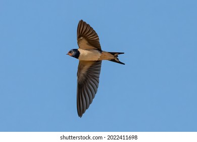 Barn swallow (Hirundo rustica). It is the most widespread species of swallow in the world. It is a distinctive passerine bird with blue upper parts and a long, deeply forked tail.