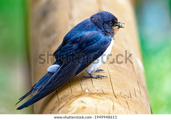 barn swallow (Hirundo rustica) with prey in the beak