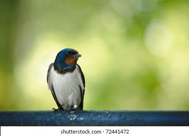Barn swallow (Hirundo rustica) sitting on metal tube