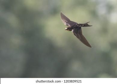 Barn swallow hovering over the Kabini river in Kabini forest, Karnataka , India