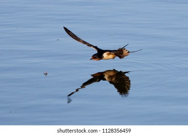Barn swallow hunting mosquito